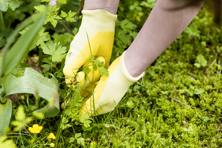 The proper way of pulling out weeds is by wearing protective gloves