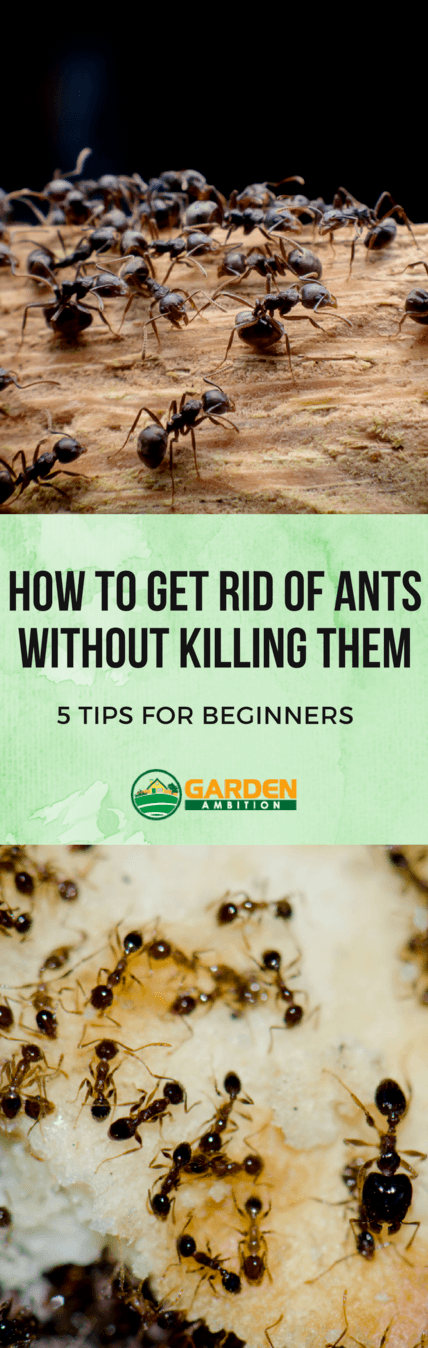 how to get rid of ants without killing them pin it