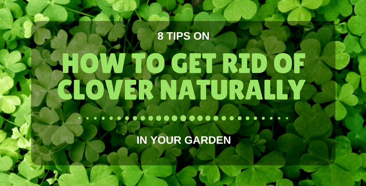 how to get rid of clover naturally