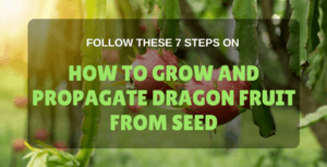 how to grow dragon fruit from seed