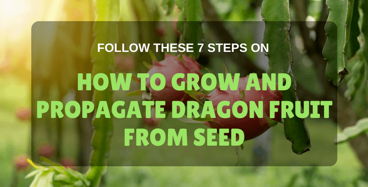 Follow These 7 Steps On How To Grow Dragon Fruit From Seed