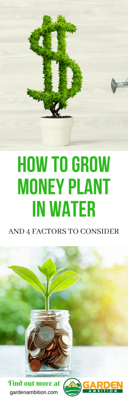 how to grow money plant in water pin it
