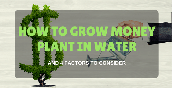 How To Grow Money Plant In Water And 4 Factors To Consider