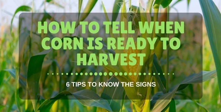 how to tell when corn is ready to harvest