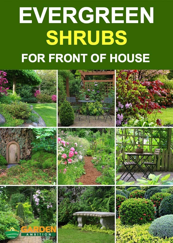best evergreen shrubs
