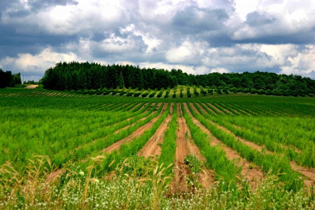 Commercial Asparagus Production Field in Oceana County, Michigan during the growing season after successful growing asparagus