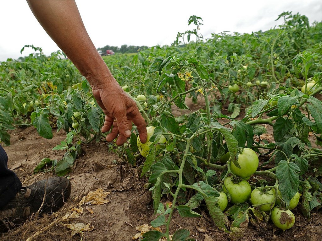 Man Checking Unripe Green Tomatoes on a Farm to show the Tomato Plant Seed growth