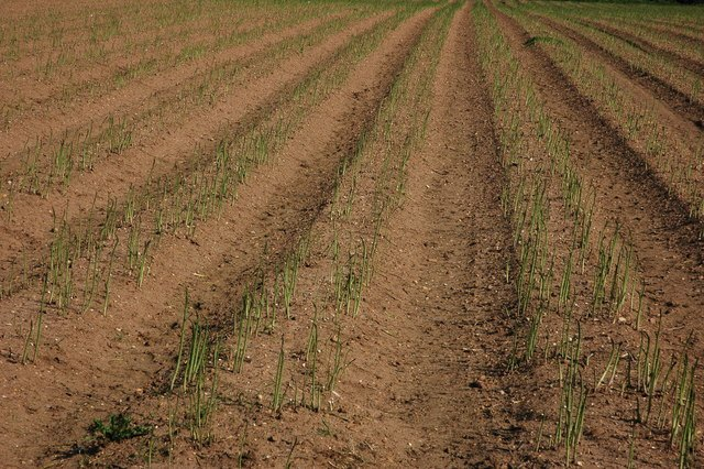 Newly Planted Asparagus crop during the growing season after successful growing asparagus