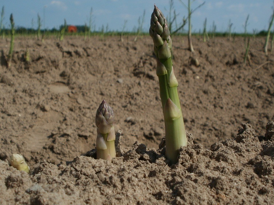 Tilled Soil of Field with Locally-grown Asparagus for successful growing asparagus