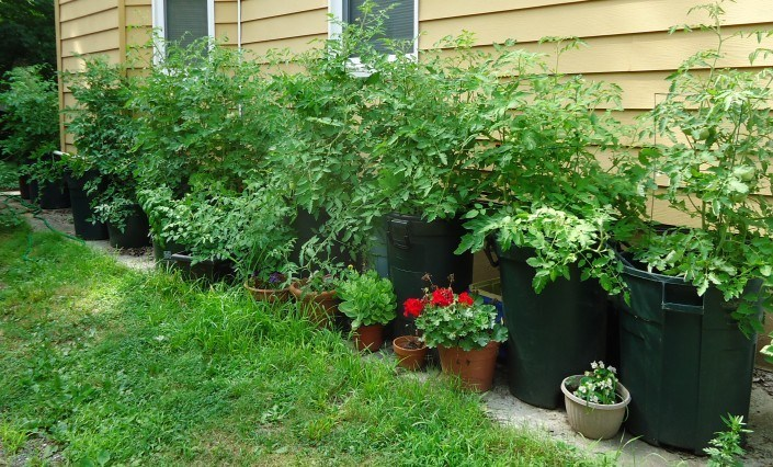 Tomato plants growing in garbage cans beside the house to show the Tomato Plant Seed growth
