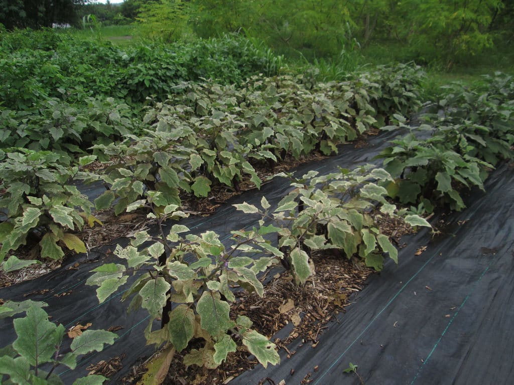 Eggplant Plantation Free from Spider mites infestation through natural remedies and washing