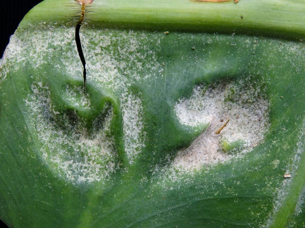 Focused View for the Colocasia gigantea Spider mites on a garden ornamental plant