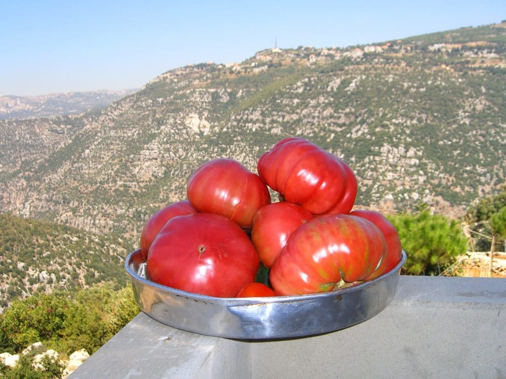 Locally grown tomatoes with the valley in the background after successful planting tomatoes