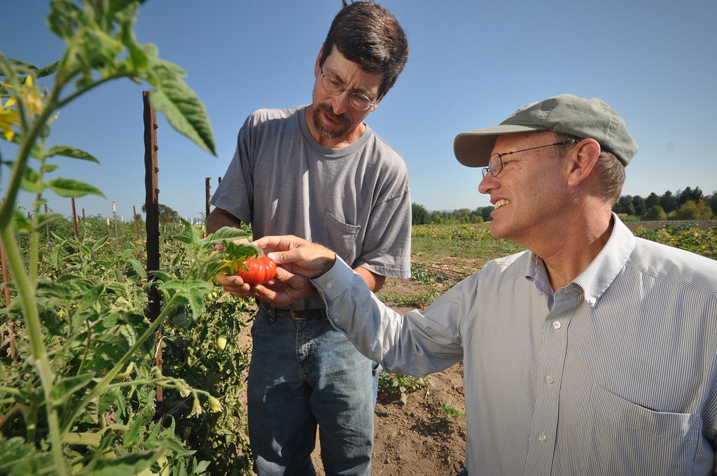 Oregon organic farmer examining an organically-grown tomato after successful planting tomatoes