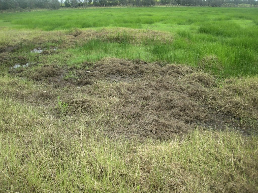 Rice Field with Paspalum distichum Armyworms that needs methods for conquering them