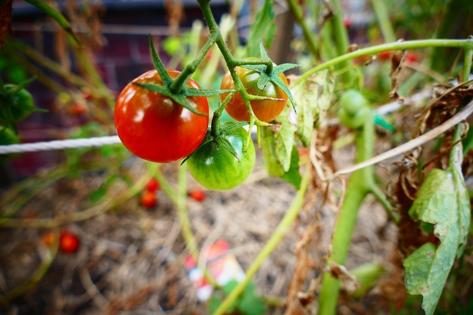 Ripe, Mid-Ripe, and Unripe Tomatoes after successful planting tomatoes