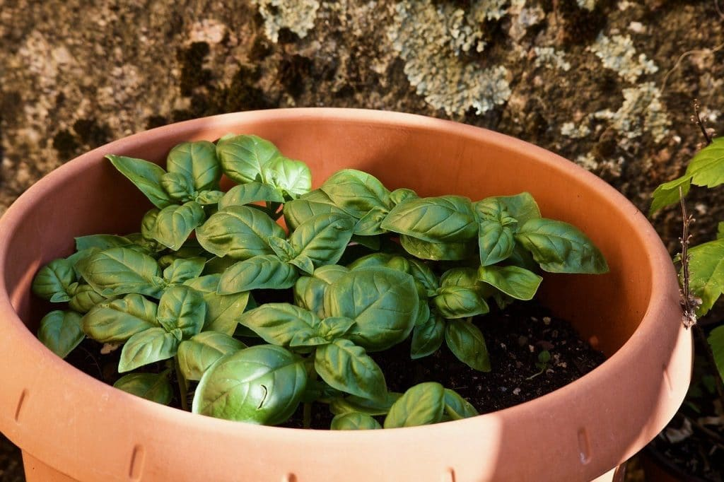 basil on a pot as one of the ways on how to grow basil