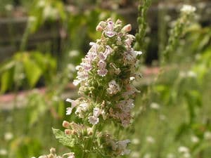flowering catnip plant