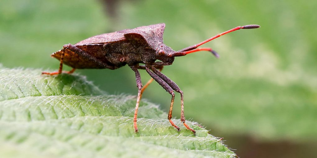 squash bugs - squash bug over the leaves