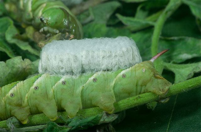 tomato worm - Hornworm carrying an eggs