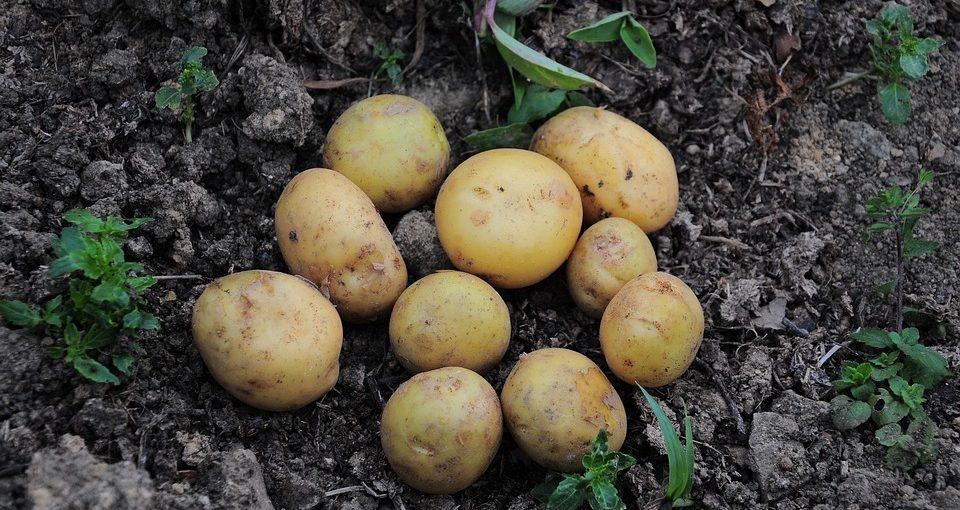potato plant - planting a bunch of potato