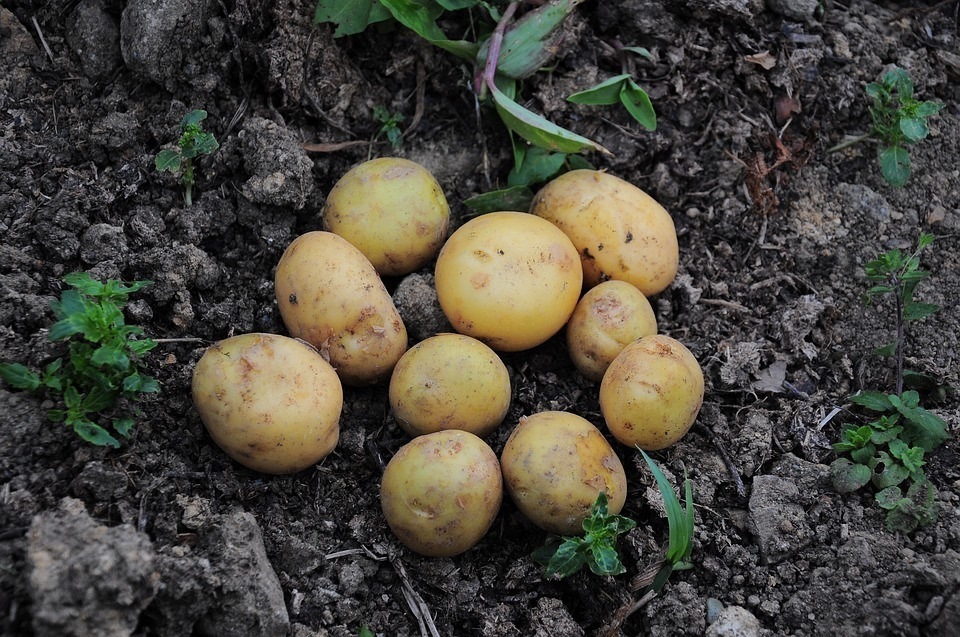 When Is the Best Time to Plant Potatoes?