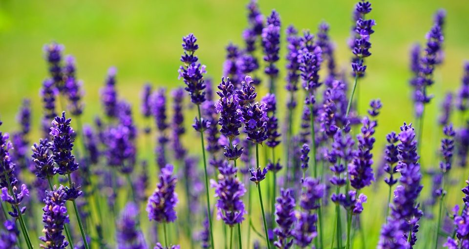 how to grow lavender - lavender plants