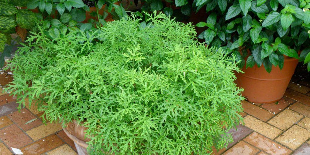 Citronella Plant growing