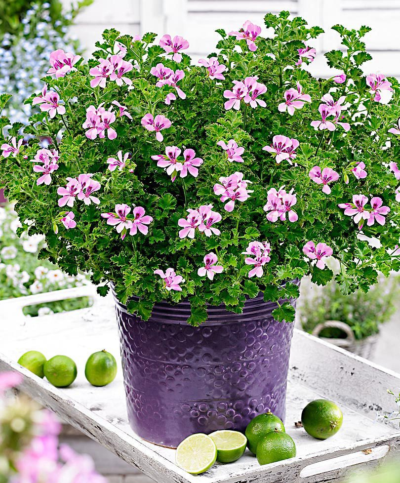 citronella plant - Geraniums and Other Citrus-Smelling Plants in a pot
