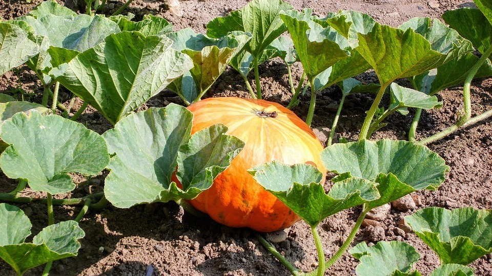 how to grow pumpkins - large pumpkins