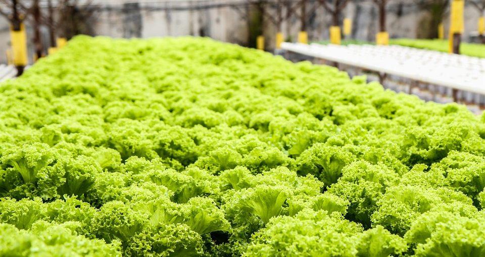 lettuce garden ready to harvest