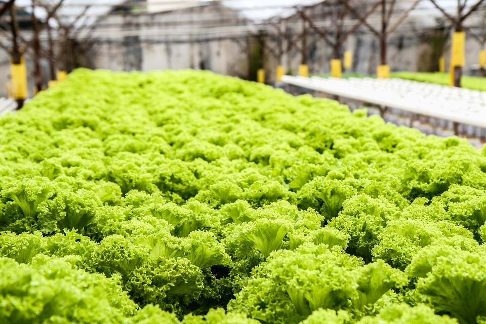 lettuce garden ready to harvest