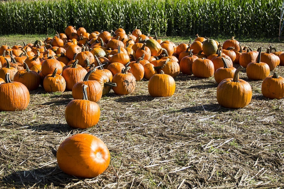how to grow pumpkins- bunch of pumpkins