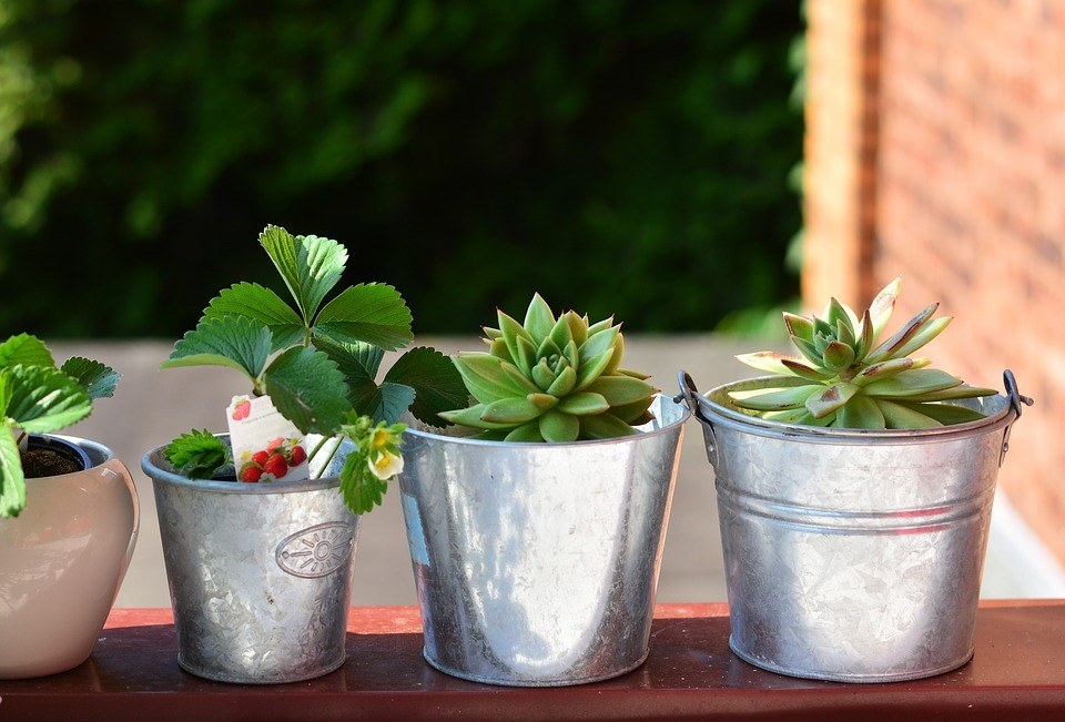 strawberry plant in balcony and in pots