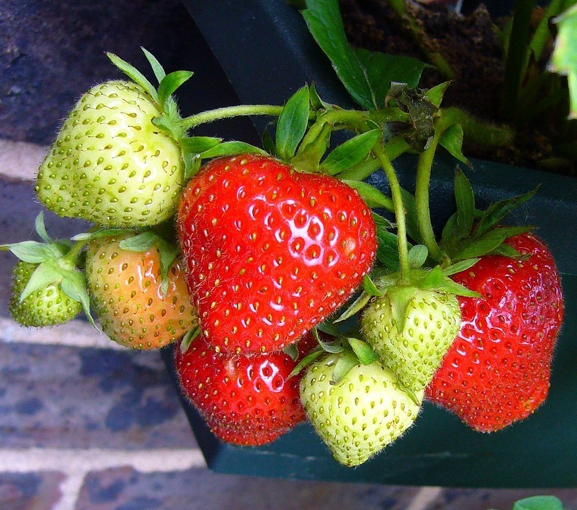 strawberry plants - strawberry delicious