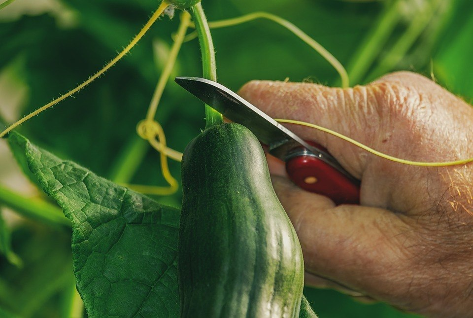 Man harvesting a cucumber