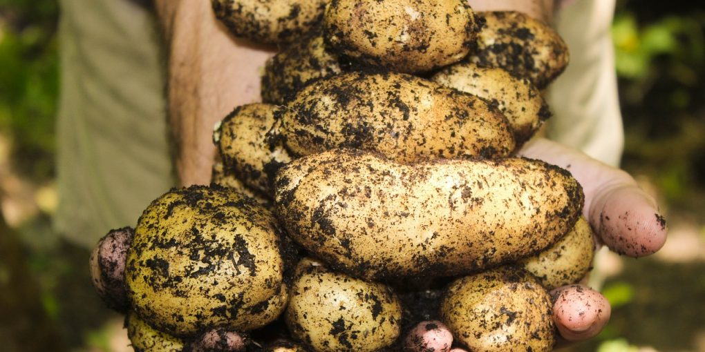 harvested potatoes that grew from potato seeds