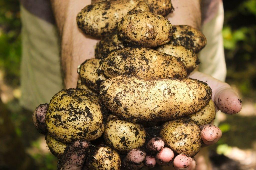 Where Do Potato Seeds Come From?