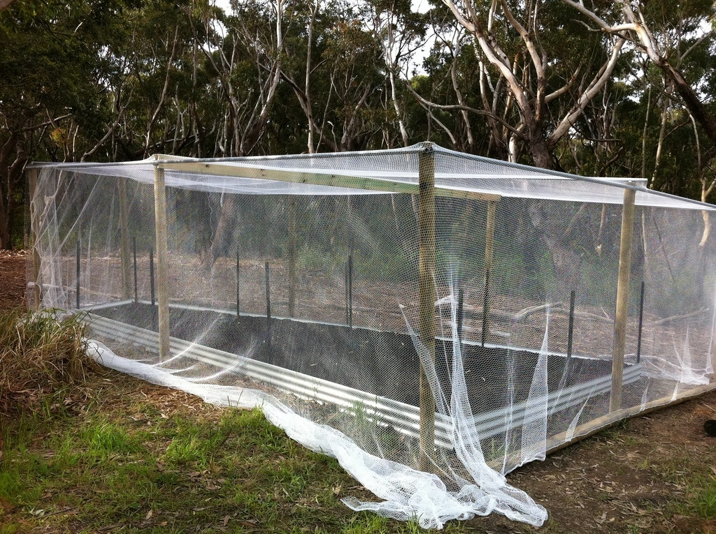 Netting the garden bed to protect the plants from pests