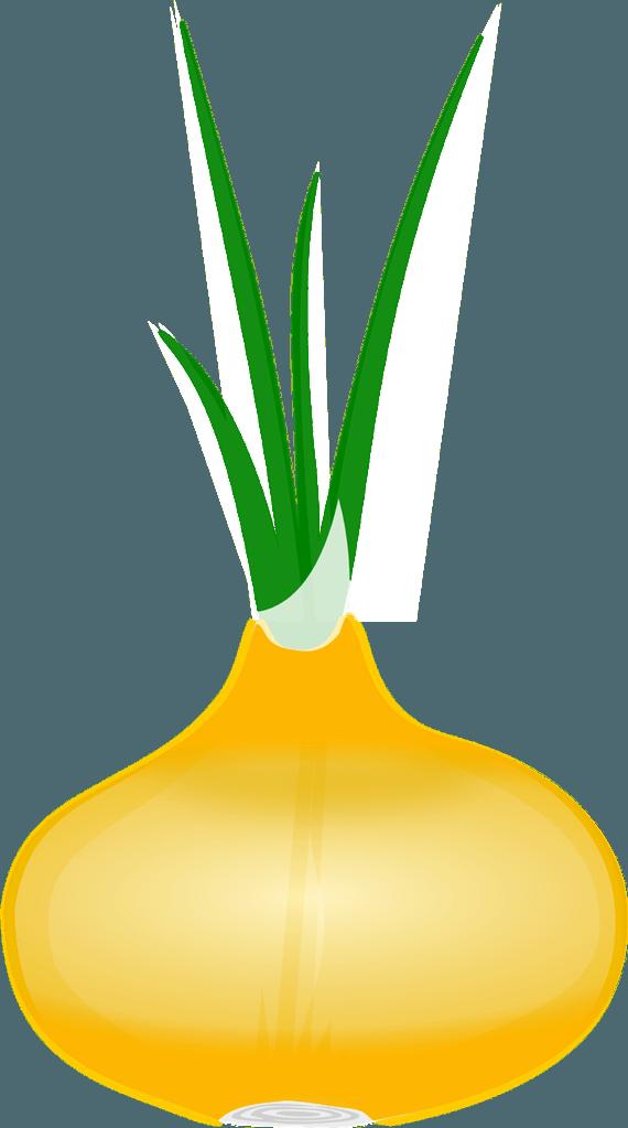 fresh bulb onion grown from a garden