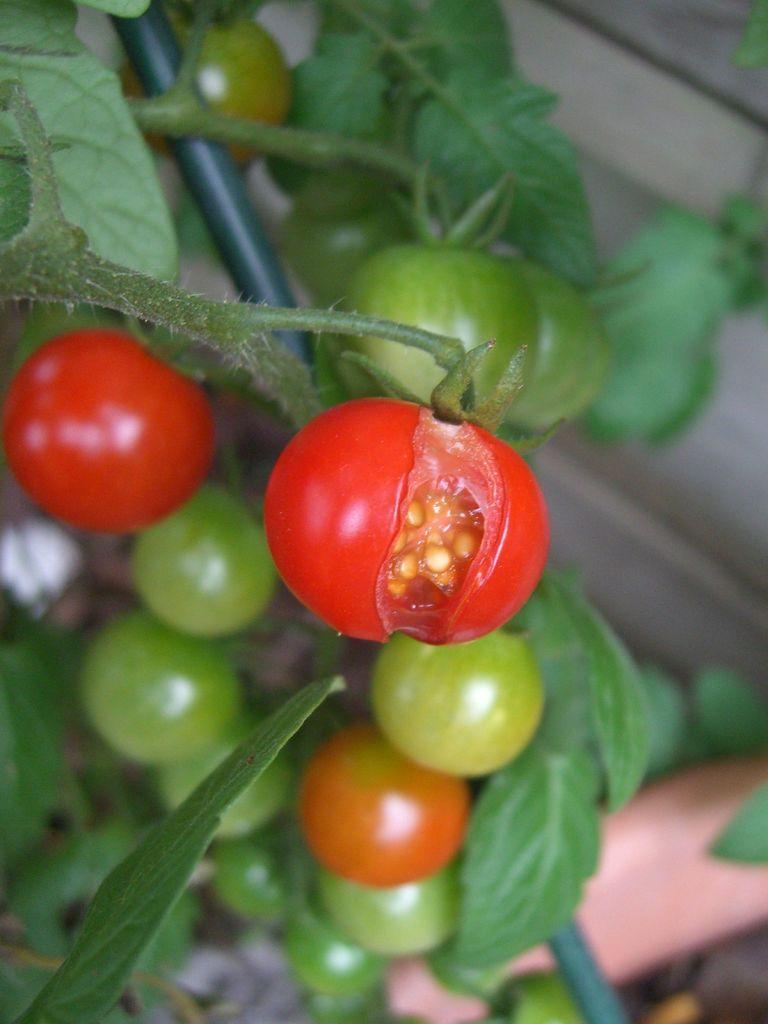 split tomatoes caused by Irregular watering