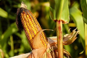 Photo of a corn near a cornfield