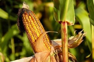 Photo of a corn near a cornfield