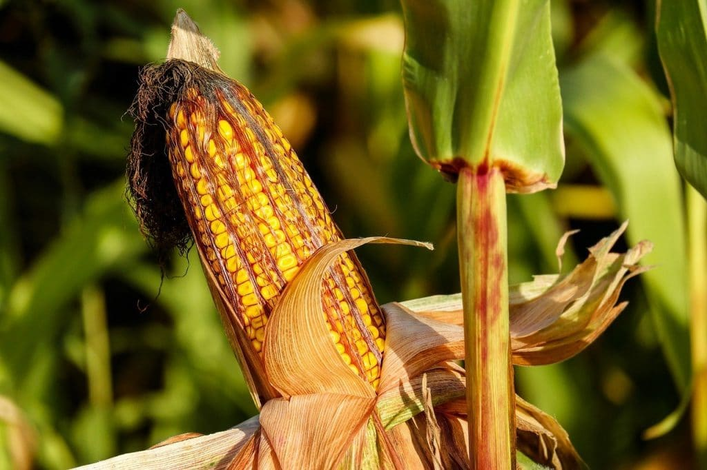 How To Grow Corn Easily: Our Comprehensive Guide
