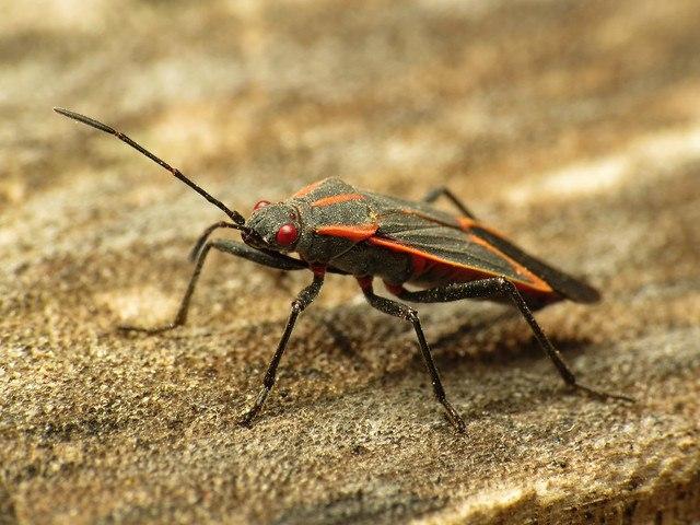 boxelder bug on the ground