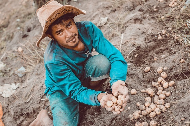 potato farmer planting