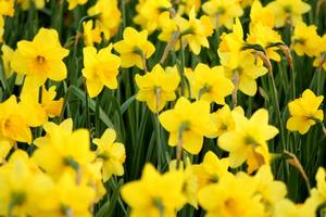 blooming field of daffodils