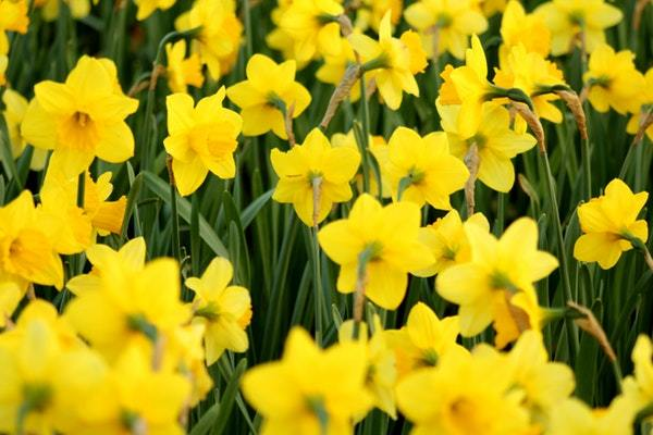 When To Plant Daffodil Bulbs: Your Ultimate Guide
