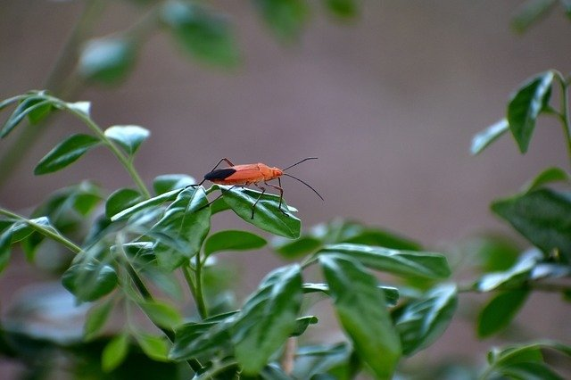 a boxelder bug on a leaf
