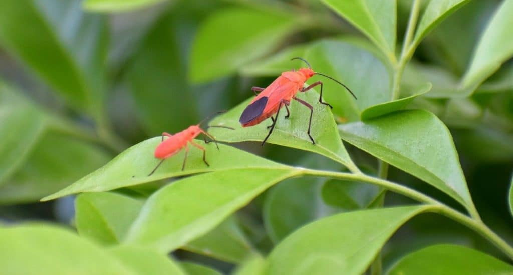 How To Get Rid Of Boxelder Bugs Efficiently
